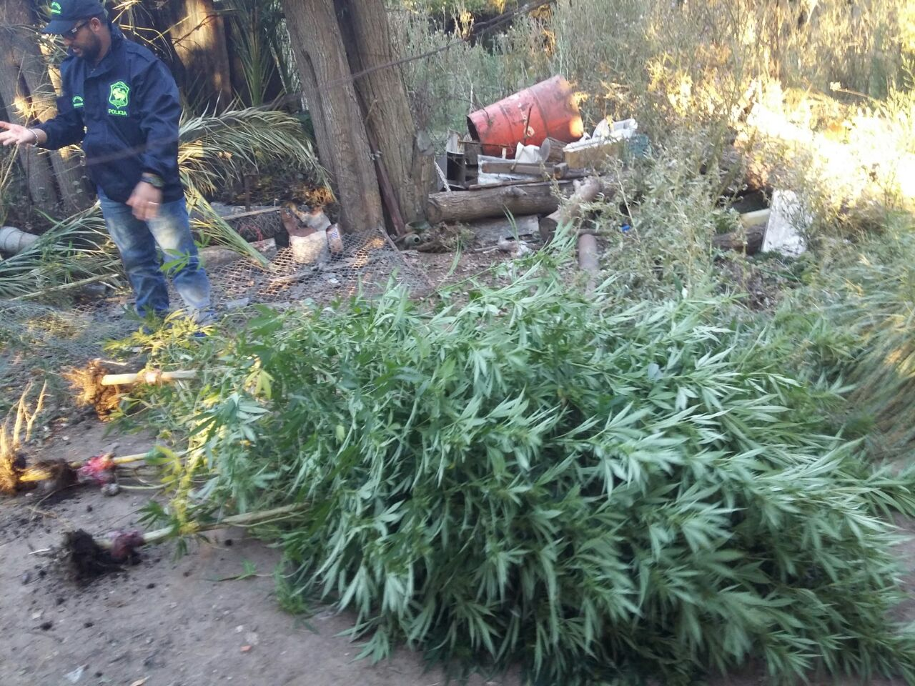 Dos detenidos en General Piran tras el hallazgo de una plantación de Marihuana