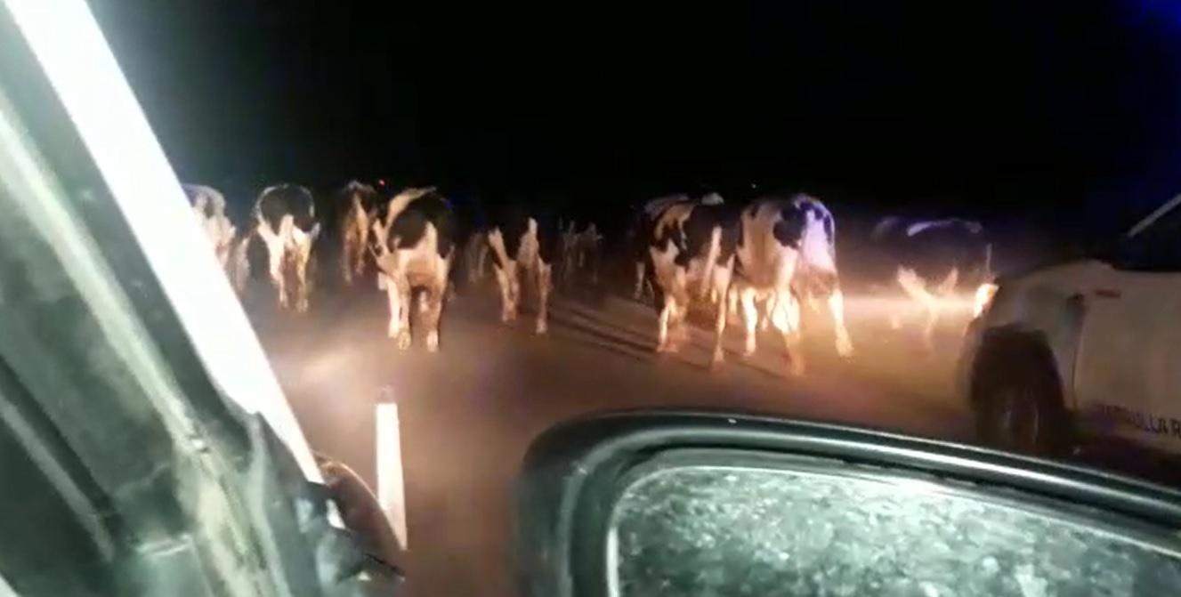 VIDEO | UNA LOCURA: El CPR Mar Chiquita evitó accidentes en el acceso 06910 tras la estampida de entre 50 y 70 vacas sueltas en la ruta