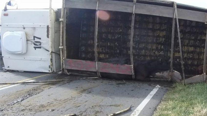 RUTA 74: Un camión cargado de hacienda volcó y quedó tendido sobre la cinta asfáltica