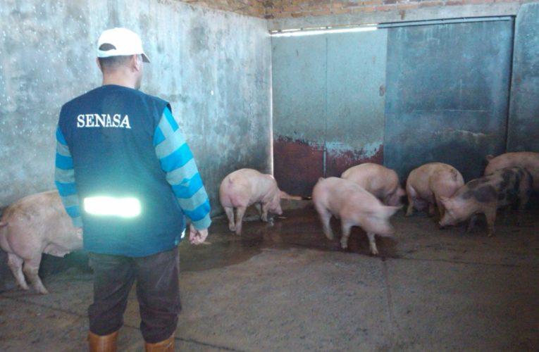 "MAR CHIQUITA: SeNaSA decomisó 245 reses de cerdo faenadas en ""condiciones irregulares"""