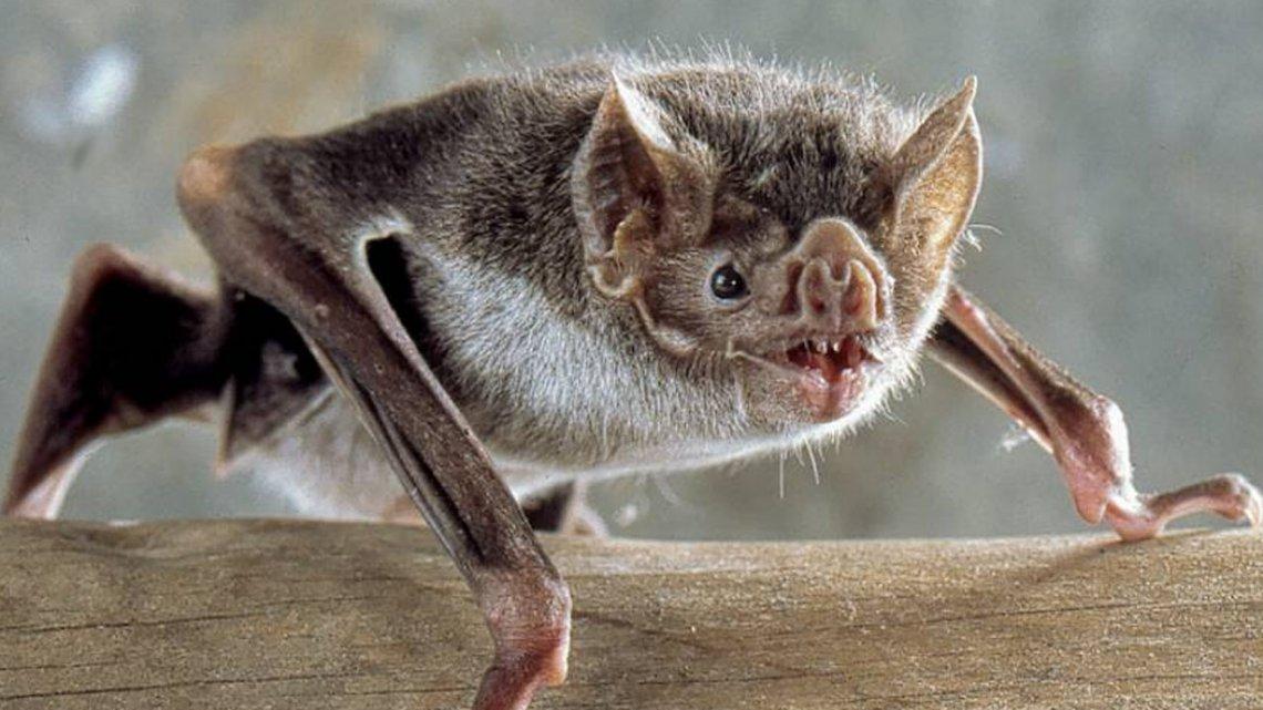 Alerta por la aparición de 14 murciélagos con rabia en Buenos Aires