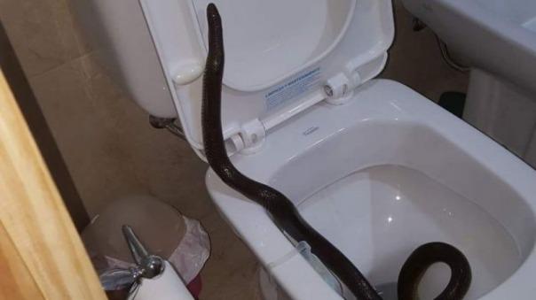 Tandil: Encontró una culebra gigante en el inodoro de su casa