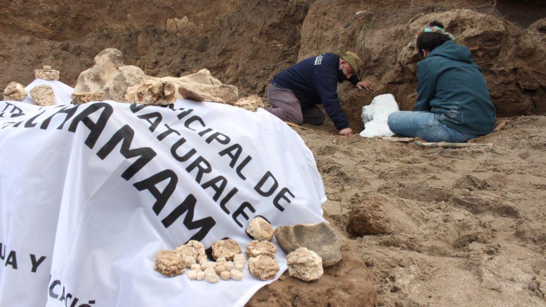 El Museo Municipal rescató fósiles que habrían pertenecido a un cachorro/bebé de Gliptodonte, que se encontraban en el acantilado de la localidad de Camet Norte
